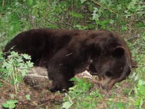 bear_photogallery_1